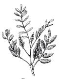 golaya-a-chapman